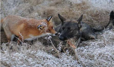 嘉峪关学校四年级五班:狐狸与猎狗